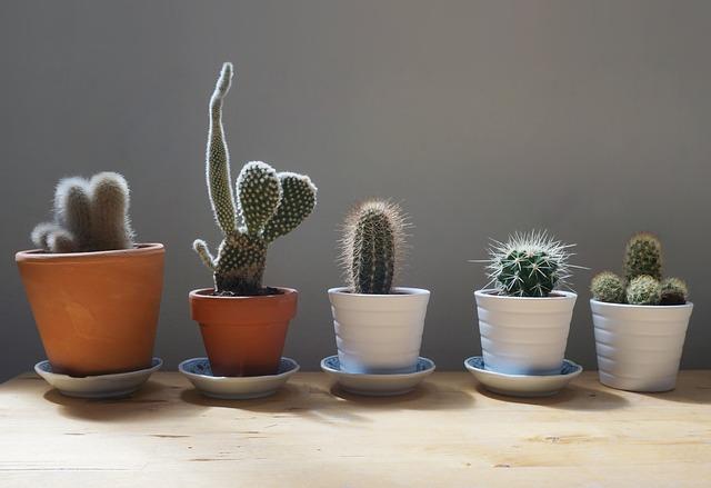 pět kaktusů
