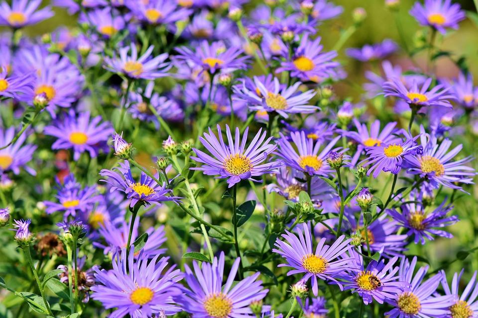 květiny hvězdicovité